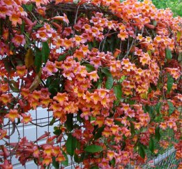 Trumpet vine on ranch wire