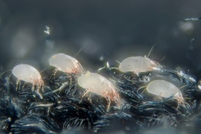 House dust mite - Dermatophagoides pteronyssinus
