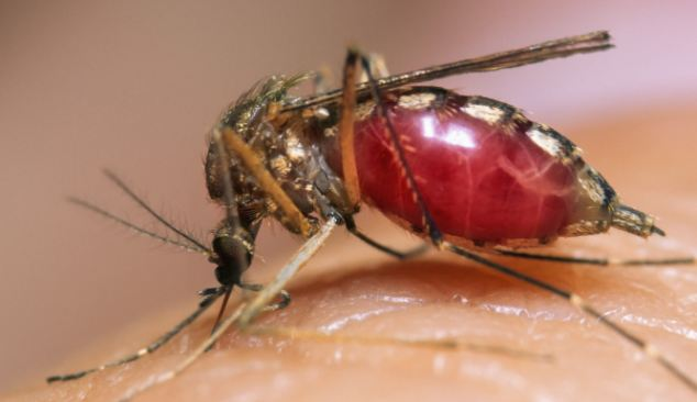 Close Up of a Mosquito Biting Into Human Skin